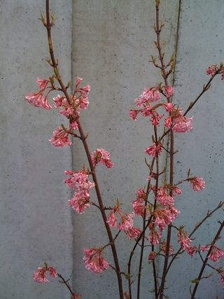 UnidentifiedPinkTreeBlossoms