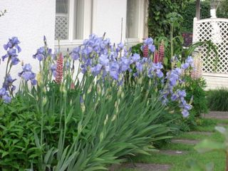 NeighbourPurpleIrises