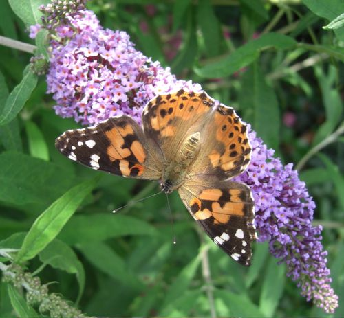 ButterflyonBuddleia
