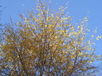 Latenovemberyellowfoliage