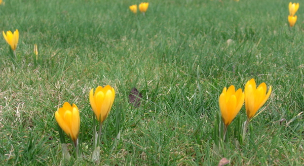 Yellowcroci